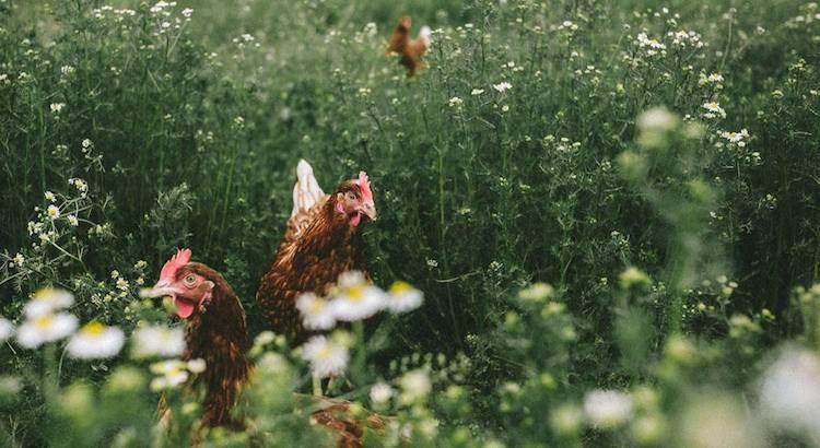 poulet bio fermier